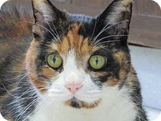 Domestic Shorthair Cat for adoption in Morristown, New Jersey - Ella
