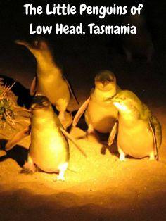 A penguin tour to see the little penguins of Low Head, Tasmania Visit Australia, Australia Travel, Western Australia, Travel Advice, Travel Guides, Travel Tips, Places Around The World, Travel Around The World, Penguin World
