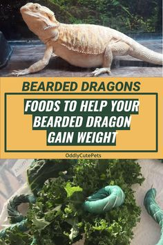 """Are you wondering """"what can I feed my bearded dragon to gain weight?"""" We've put together a fatty food list to use to fatten up your pet. Fancy Bearded Dragon, Bearded Dragon Food List, Bearded Dragon Habitat, Dragon Tattoo Ink, Bearded Dragon Enclosure, Bearded Dragon Terrarium, Dragons, Enter The Dragon, Weight Gain"""
