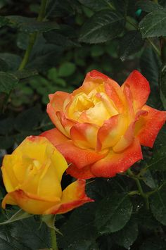 'Judy Garland '  FL rose. Bred by Harkness (United Kingdom, 1977).