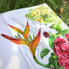 Flowers, orange flowers, flowers of Thailand, tropical flowers, botanical, botanical, drawing, sketch, Heliconia - false bird-of-paradiseОранжевая красота из моего сада #семь_цветков_радуги #семь_цветков_радуги_2 #botanical #thailand…