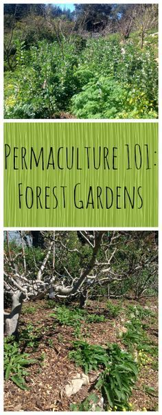 Permaculture 101: Forest Gardens ~ Part 3 in our series, learn all about Food Forests! http://www.growforagecookferment.com