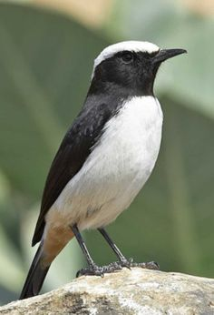 Arabian wheatear (Oenanthe lugentoides) is a species of bird in the Muscicapidae family. It is found in Oman, Palestine, Saudi Arabia, and Yemen. Different Birds, Kinds Of Birds, All Birds, Little Birds, Birds Of Prey, Love Birds, Exotic Birds, Colorful Birds, Pretty Birds