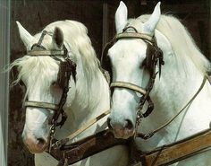 horse breed Dig this Draft Horse Breeds, Draft Horses, Percheron Horses, Clydesdale, Pretty Horses, Beautiful Horses, Horse Pictures, Animal Pictures, Charro
