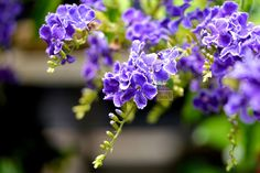 Duranta erecta çiçeği