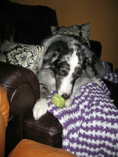 Happy, what a great way to describe this beautiful blue merle Aussie boy. He is 56 pounds of love and energy. Happy has crystal blue eyes that will mesmerize you into letting him climb on your lap or just snuggle for hours on end. He is very much...