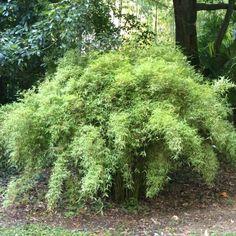 Bambou non traçant donc non envahissant. Massif, touffe isolée ou potée. Un bambou coloré au charme inégalé.