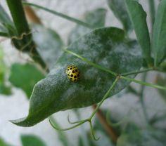 Yellow garden lady bird on my sweet peas