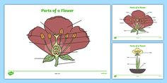 Parts of a Plant and Flower Reference Sheet and Labelling Activity Sheet Map Activities, Interactive Activities, Parts Of A Flower, Parts Of A Plant, Primary Teaching, Teaching Resources, Plant Labels, Science Lessons, Ks2 Science