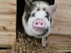 Geordie the kunekune pet pig
