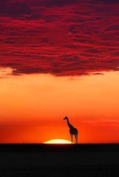 Giraffes, and sunsets ~Vio