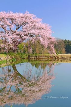 Weeping cherry tree in Fukushima, Japan Beautiful Flowers, Beautiful Places, Beautiful Pictures, Cherry Blossom Japan, Cherry Blossoms, Weeping Cherry Tree, Asian Landscape, Nature Tree, Flowering Trees