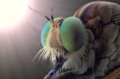 Robberfly by Yudy Sauw on 500px