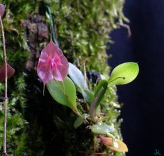 PLEUROTHALIDS :: All about this orchid alliance which includes Lepanthes & Masdavallia among many others composing around 32 separate genera. | #orchids  #pleurothallids #terrariumplants #terrariumorchids