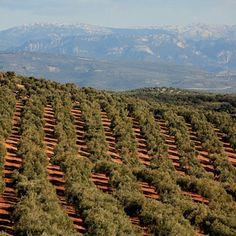 Olive groves in Jaén - Andalucía, Spain.
