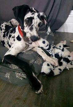 Great Dane puppy, Quinn