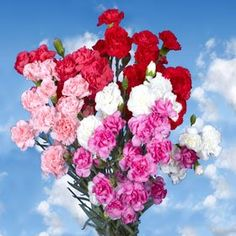 Send Valentine's Day Mini Carnations | Valentine's Day 300 Spray Carnations - http://yourflowers.us/?p=13376