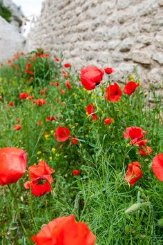 poppies with a view!