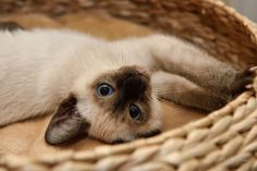Siamese baby <3