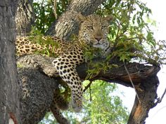 Congratulations to Evelyn Lewin for taking 1st Place in our company photo contest. Her photo of this gorgeous leopard was taken while she was traveling in Okawanga Delta in Botswana!
