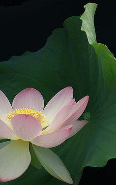 Pink Lotus Flower Close-Up