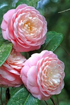 Camelias --- My Most Favorite Childhood Memories of Mom Growing and Creating Hybrid Camelias and Winning State of Texas Garden Club Blue Ribbons [First Prizes] for Them, We Are so Proud ♥♥