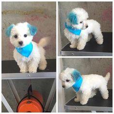 WEBSTA @ jazzypawzbyandrea - BRONX ❣🐾🐶 #petstylist #dogsofinstagram #doggrooming #doglover #atlantadogs #puppy #blueears #petfriendlycoloring