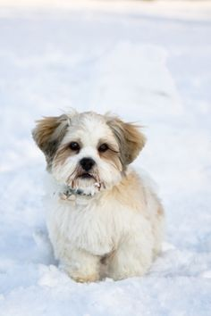 Lhasa Apso ...........click here to find out more http://googydog.com