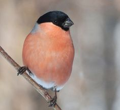 male bullfinch being suave of course