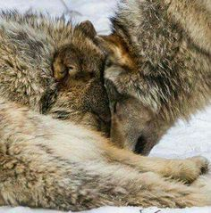 A Wolf Checking on His Sleeping Mate. Seattle Photos, Wolf Totem, Wolf Life, Wolf Photos, Wild Wolf, Animals Of The World, Brown Bear, Big Cats, Animals Beautiful