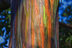 L'eucalyptus Arc-en-Ciel est l'Arbre avec la Croissance la plus rapide au Monde (4)
