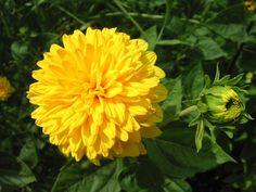 Fondo de Fondo Hermosa Dalia Amarilla en Fondos y Pantallas