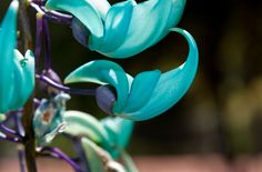 Jade Vine is rare flower in the family of pea and bean. It can be only seen in the rain forest of Philippines. Jade Vine have claw shaped flowers which can grow up to 3 meters. The color of thus beautiful flower vary from blue to light green. As Jade Vines is sometimes pollinated by bats it shows luminous quality at night, make a spectacular view. The natural pollinators and constantly changing environment conditions makes Jade Vine as a rare flower.