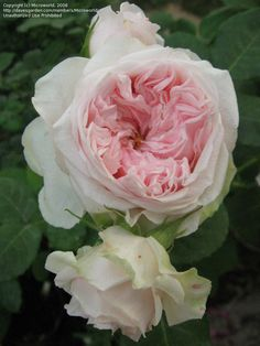 Full size picture of English Rose, Austin Rose 'Claire Rose' Claire Austin, David Austin Roses, English Roses, Green Leaves, Houseplants, Teacups, Flowers, Gardens, Google