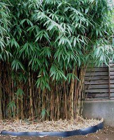 jardin feng-shui avec bambou, Pseudosasa japanoca, symbole du Bois