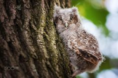 Baby owl by Sandra Chile on 500px