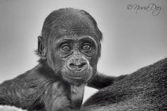 Gorilla 4 months by Nuria Diez on Especie Animal, 4 Months, Monkeys, Black And White, Photos, Parks, Animales, Naturaleza, Animals