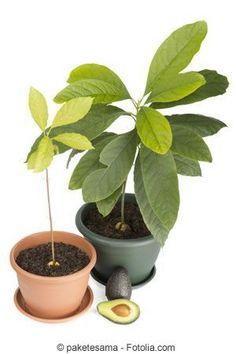 Pflege der Avocado