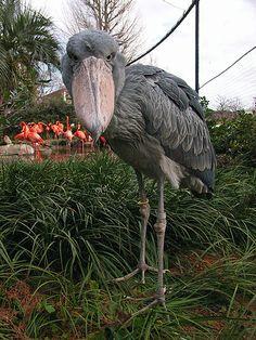 Shoebill | Ueno Zoo, Tokyo, Japan (上野動物園のハシビロコウ「アサンテ」♀) | 42203050@N00 | Flickr