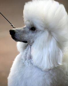 Stunning white poodle.