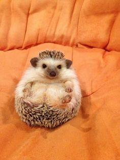 The Top Two Occasions Of Hedgehogs Sitting In Orange Chairs