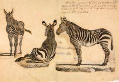 Cape mountain zebra, by William Cornwallis Harris c. 1838
