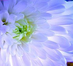 DIGITAL DOWNLOAD White Flower Photography Mum by JanetLongArts