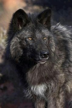 Rare Black Wolf. The wolf, particularly in Europe, has traditionally been considered a creature of the night. This only came about because it was their only recourse to survival when they became hunted by man.