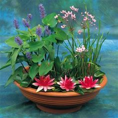 1 dwarf growing water lily (Nymphaea Pygmaea Rubra), 1 Pickerel Rush (Pontederia cordata), 1 Flowering Rush (Butomus umbellatus). The Dimensions of the planter is 36 x 36 x 15 cms.