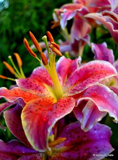 Photograph After 8 Oriental  Lily by Nate A on 500px