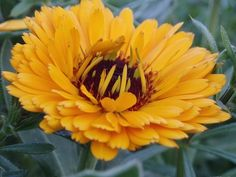 First Aid Ointment Comes from Calendula Flowers Lavender Garden, Lavender Scent, October Flowers, Olive Oil Soap, Linen Spray, Infused Oils, Carrier Oils, Calendula, Natural Cures