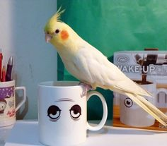 Curry the cockatiel & wake up cup