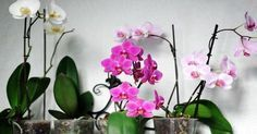 Mini phalaenopsis moth orchids in bloom. Moth Orchid, Orchid Plants, Orchid Care, Indoor Orchids, Indoor Plants, Growing Orchids, Citrus Trees, Garden Care, Potting Soil