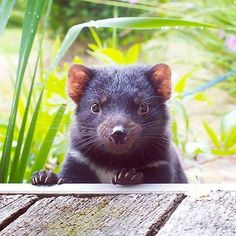 Post with 25 votes and 675 views. A little Devil in Tasmania Animals And Pets, Baby Animals, Funny Animals, Cute Animals, Unusual Animals, Cute Creatures, Beautiful Creatures, Funny Animal Pictures, Animal Pics